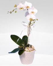1 dallı orkide saksı çiçeği  Edirne çiçekçi mağazası