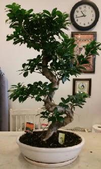 100 cm yüksekliğinde dev bonsai japon ağacı  Edirne internetten çiçek satışı