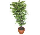 Ficus özel Starlight 1,75 cm   Edirne yurtiçi ve yurtdışı çiçek siparişi