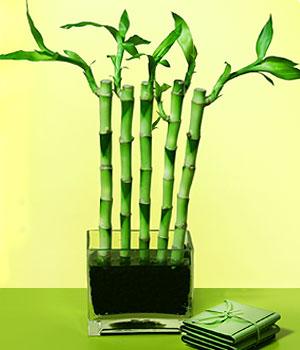 Edirne çiçek gönderme sitemiz güvenlidir  Good Harmony Lucky Bamboo camda
