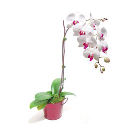 Edirne çiçek siparişi vermek  Saksida orkide