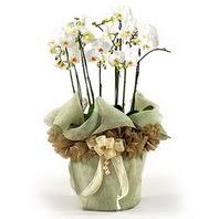 Edirne hediye sevgilime hediye çiçek  3 dal orkide , saksi çiçegi , 3 kök orkide