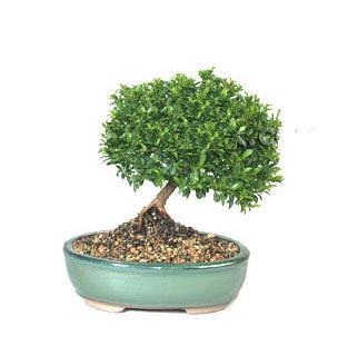 ithal bonsai saksi çiçegi  Edirne online çiçekçi , çiçek siparişi