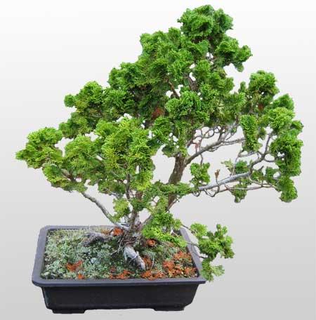 ithal bonsai saksi çiçegi  Edirne internetten çiçek satışı