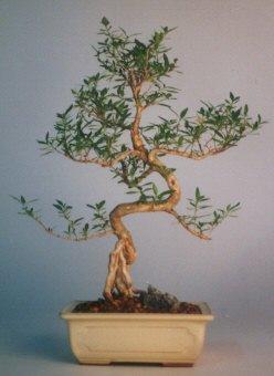 Edirne cicek , cicekci  ithal bonsai saksi çiçegi  Edirne kaliteli taze ve ucuz çiçekler