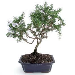 ithal bonsai saksi çiçegi  Edirne online çiçek gönderme sipariş