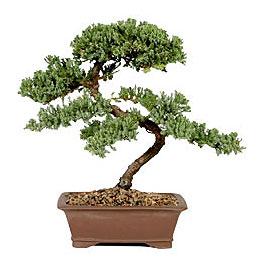 ithal bonsai saksi çiçegi  Edirne çiçekçiler
