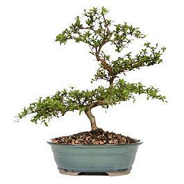 Edirne internetten çiçek satışı  ithal bonsai saksi çiçegi  Edirne çiçekçiler