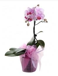1 dal pembe orkide saksı çiçeği  Edirne çiçek , çiçekçi , çiçekçilik