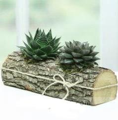 Doğal kütük içerisinde 2 adet kaktüs  Edirne hediye sevgilime hediye çiçek