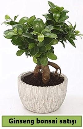Ginseng bonsai japon ağacı satışı  Edirne online çiçek gönderme sipariş