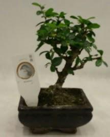 Küçük minyatür bonsai japon ağacı  Edirne çiçek siparişi vermek