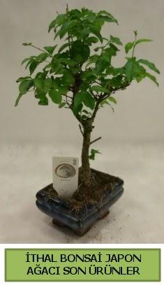 İthal bonsai japon ağacı bitkisi  Edirne çiçek yolla