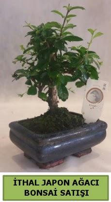 İthal japon ağacı bonsai bitkisi satışı  Edirne online çiçek gönderme sipariş