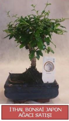 İthal küçük boy minyatür bonsai ağaç bitkisi  Edirne online çiçek gönderme sipariş