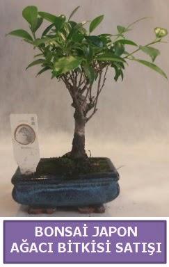 İthal Bonsai japon ağacı bitkisi satışı  Edirne internetten çiçek satışı