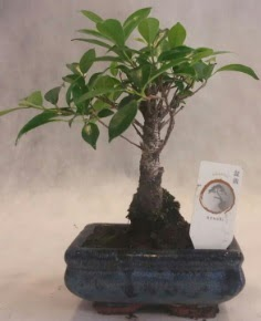 Bonsai ağacı japon ağaç bitkisi  Edirne internetten çiçek siparişi