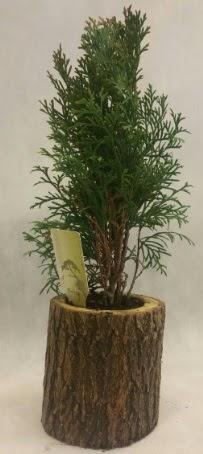 SINIRLI STOK Selvi Bonsai Doğal kütükte  Edirne internetten çiçek satışı