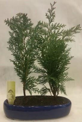SINIRLI SAYIDA Selvi Ağacı bonsai ikili  Edirne online çiçek gönderme sipariş