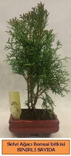 Selvi ağacı bonsai japon ağacı bitkisi  Edirne cicek , cicekci