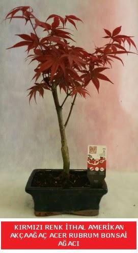 İTHAL ACER RUBRUM BONSAİ AĞACI  Edirne çiçekçiler