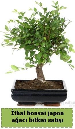 İthal bonsai saksı çiçeği Japon ağacı satışı  Edirne internetten çiçek satışı