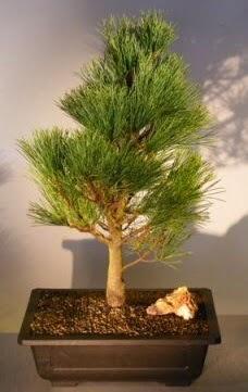 Çam ağacı japon ağacı bitkisi bonsai  Edirne online çiçek gönderme sipariş