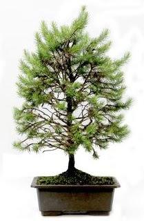 *** STOKTA YOK - Çam ağacı bonsai bitkisi satışı  Edirne online çiçekçi , çiçek siparişi