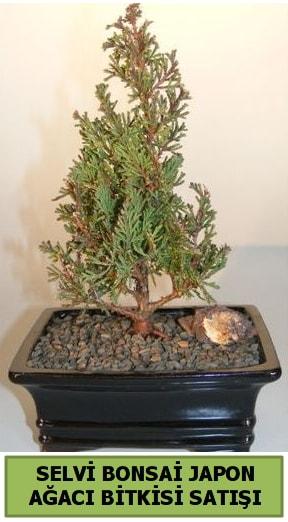 Selvi çam japon ağacı bitkisi bonsai  Edirne online çiçek gönderme sipariş