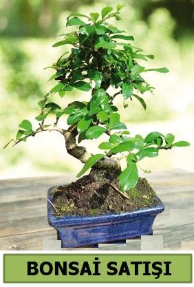 Çam bonsai japon ağacı satışı  Edirne cicek , cicekci