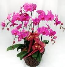 Sepet içerisinde 5 dallı lila orkide  Edirne uluslararası çiçek gönderme