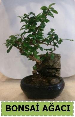 Bonsai ağacı japon ağacı satışı  Edirne 14 şubat sevgililer günü çiçek