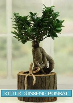 Kütük ağaç içerisinde ginseng bonsai  Edirne çiçekçiler