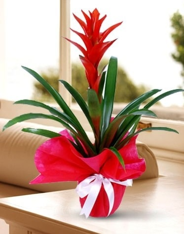 Guzmanya Saksı Çiçeği  Edirne internetten çiçek siparişi
