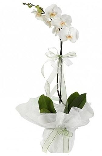 Tekli Beyaz Orkide  Edirne 14 şubat sevgililer günü çiçek