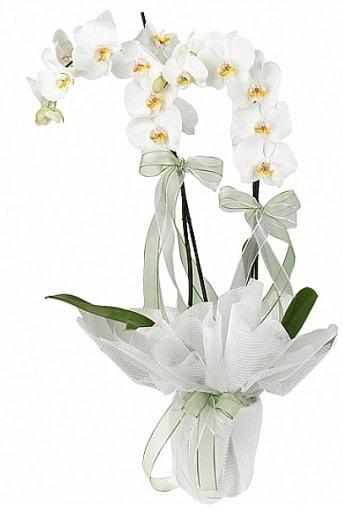 Çift Dallı Beyaz Orkide  Edirne çiçek gönderme sitemiz güvenlidir