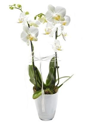 2 dallı beyaz seramik beyaz orkide saksısı  Edirne çiçekçiler