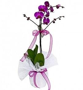 Tek dallı saksıda ithal mor orkide çiçeği  Edirne çiçek servisi , çiçekçi adresleri