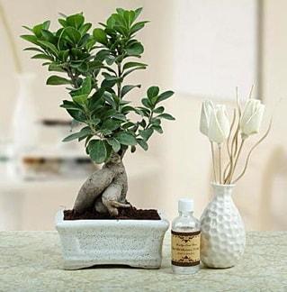 Ginseng ficus bonsai  Edirne çiçek servisi , çiçekçi adresleri