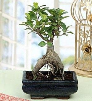 Appealing Ficus Ginseng Bonsai  Edirne çiçek gönderme sitemiz güvenlidir