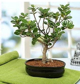 Lovely Ficus Iceland Bonsai  Edirne çiçek gönderme sitemiz güvenlidir