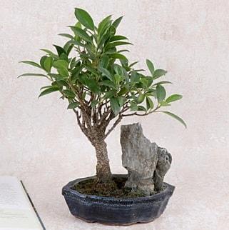 Japon ağacı Evergreen Ficus Bonsai  Edirne çiçekçiler