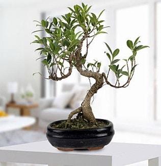 Gorgeous Ficus S shaped japon bonsai  Edirne hediye çiçek yolla