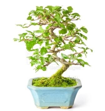 S zerkova bonsai kısa süreliğine  Edirne internetten çiçek satışı