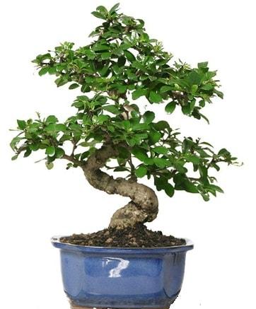21 ile 25 cm arası özel S bonsai japon ağacı  Edirne online çiçek gönderme sipariş