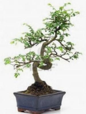 S gövde bonsai minyatür ağaç japon ağacı  Edirne cicek , cicekci