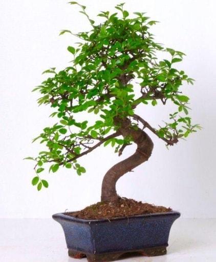 S gövdeli bonsai minyatür ağaç japon ağacı  Edirne çiçekçiler