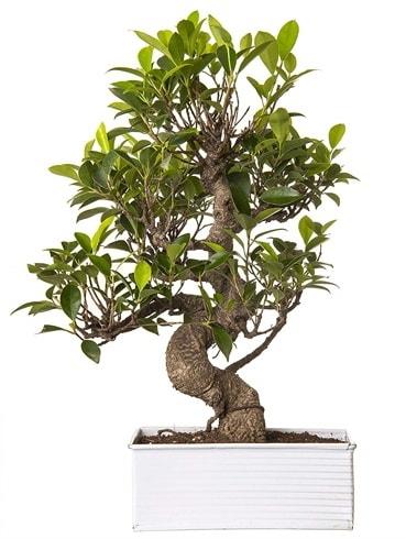 Exotic Green S Gövde 6 Year Ficus Bonsai  Edirne çiçekçiler